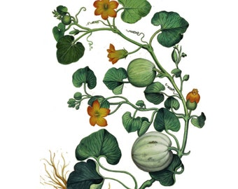 "Vintage Botanical Squash Temporary Tattoo - ""Squash It!"""