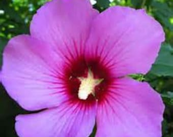 Aphrodite Rose of Sharon Hibiscus