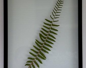 "Real Pressed Float Framed Western Sword Fern Large Botanical Art Herbarium 15""x19"""