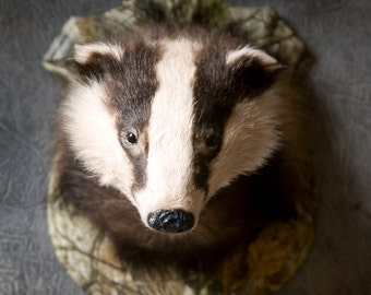 Taxidermy badger mask