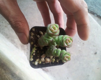 "2"" Pot Crassula 'Baby Necklace' rupestris - Exotic Succulent Plant"