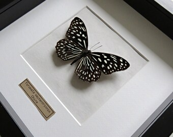 Real Butterfly: Tirumala septentrionis in wooden frame