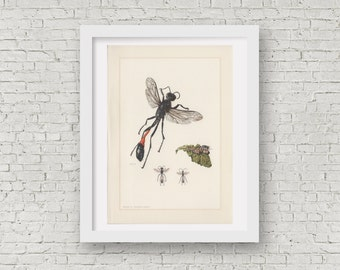 1961 Wasp Illustration, Insects Print, Vintage Lithograph, Sphecidade Entomology, Ammophila sabulosa, Red-banded Sand Wasp, Sandwespe