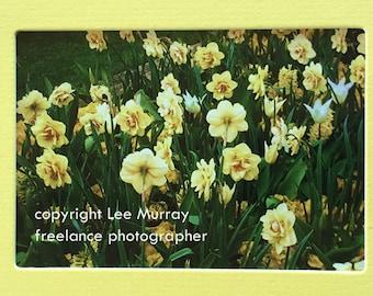 Yellow Daffodils in England