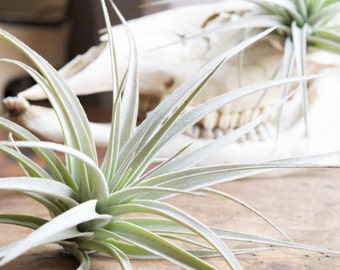 Tillandsia Pohliana, rare large air plant
