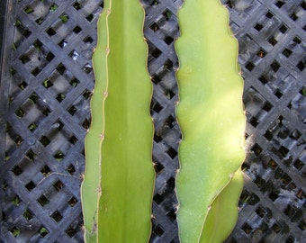 Dragon Fruit Epiphyllum Pitahaya Succulent Cactus 2 Cuttings