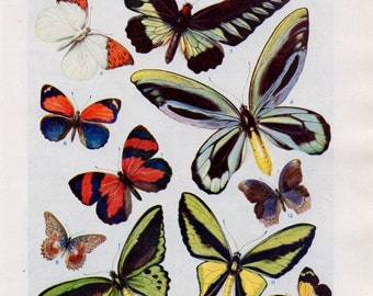 Vintage Butterfly Print - Vintage Butterfly Lithograph from the 1950's