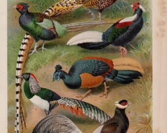Antique Pheasant Lithograph - Antique Pheasant Print from 1890
