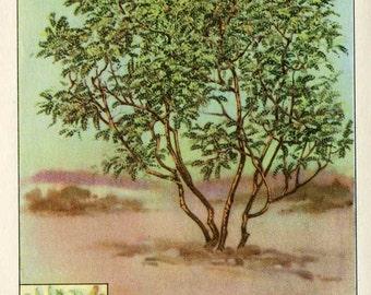 Vintage 1926 American Trees  Original Bookplate Illustration, Print, Mesquite Tree, Tree Print, Wall Decor