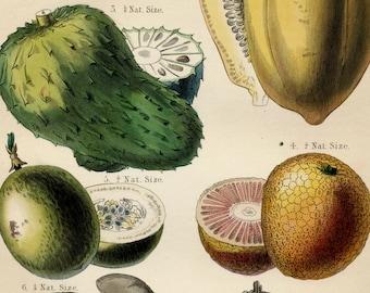 Antique Botanical Print of Fruits and Nuts - Papaya - Sour Sop - Passion Fruit - Brazil Nut - Plate 14 - 1870 Vintage Print - Hand Coloured