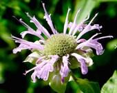 Wild Bee Balm Seeds (Monarda fistulosa)