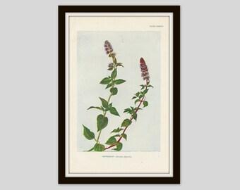 Antique Botanical Print, Peppermint, Cottage Decor, Wildflower, Victorian Lithograph, Original Print, Vintage Flower Print, Plate CXXXVIII