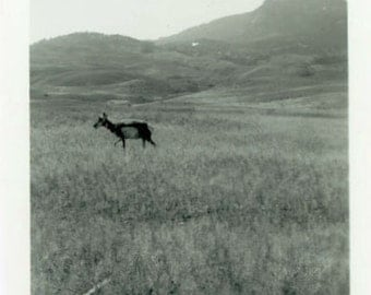 "Vintage Photo ""The Lone Grazer"" Animal Antelope Snapshot Old Antique Photo Black & White Photograph Found Paper Ephemera Vernacular - 111"