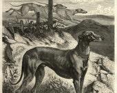 English Greyhound Dog Antique Print 1870s Specht Aldine Art Journal Black White Dog Art Wall Decor