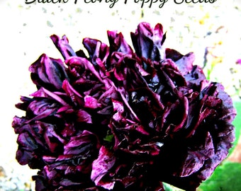 Black Peony Poppy Flower Seeds 100 plus