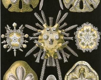 Fine Art Reproduction. Art Forms in Nature: Ernst Haeckel. Echinidea, 1899. Fine Art Print.