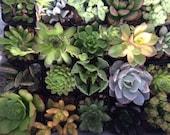 Succulent Plants 20 Plant Assortment