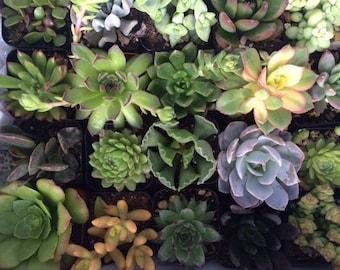 Succulent Plants 30 Plant Assortment