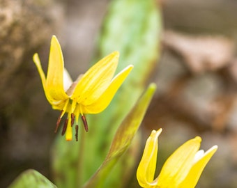 Dog Tooth Violet Fine Art Nature Landscape Digital Photography Prints