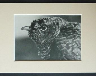 1950s Vintage Cuckoo Print, Woodland Decor, Available Framed, Nature Art, English Natural History Gift for Bird Lover British Rural Wall Art