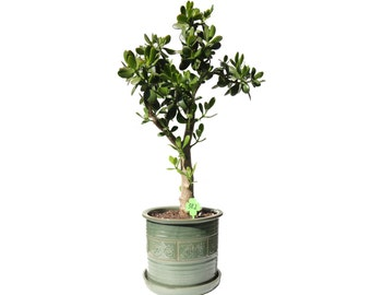 "Jade Plant Crassula Ovata 14 Year Old 33"" Tall Plant in a Green Ceramic Cylinder 10"" D Planter #382"