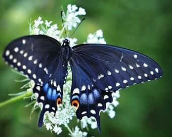 Butterfly Photograph, Black Swallowtail Macro Butterfly Photo Print, Fine Art Nature Photography, Square Home Decor Wall Art