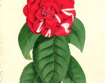 1836 Matted Camellia Japonica Vintage Botanical Print Paxton Vintage Flower Home Decor Vintage Art Prints  Antique Botanical Print