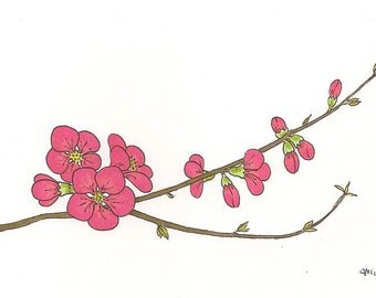 Flowering Quince - Pink