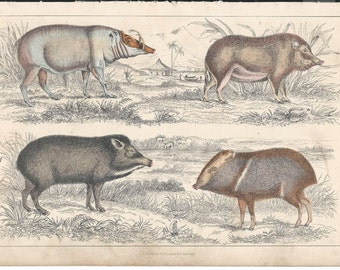 c. 1850s Chromolithographic Zoological plate - Wild Boars