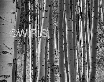 Colorado Aspen Grove print. Canvas photo print. Canvas Photography. Wall Art. 8x10, 11x14, 16x20, 20x24.
