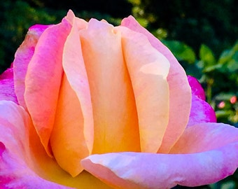 Rose Petal Radiance