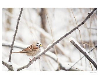Nature Photography PRINT, White Throated Sparrow, Wall Art