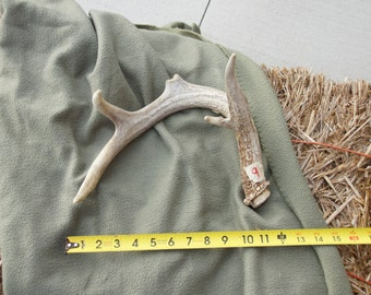 White-Tailed Deer Antler