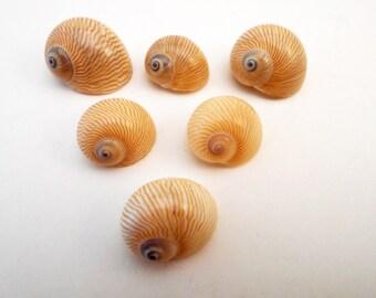 "6 Nautica Lineata Shells Seashells (3/4""-1"") Beach Crafts Nautical Decor Hermit Crabs"