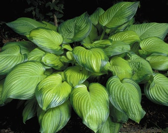 1 Guacamole - Hosta Root / Plant