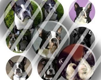 Digital Bottle Cap Collage Sheet - Boston Terriers - 1 Inch Circles Digital Images for Bottlecaps