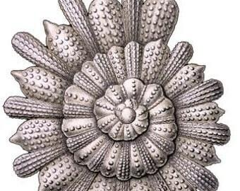 Haeckel Sea shell alternating spiral Digital vintage sea shells artwork Printable poster Download scrapbooking decoupage Ihappywhenyouhappy