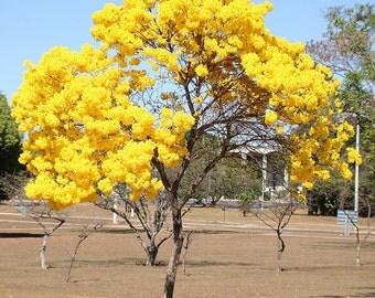 Tabebuia Chrysotricha 15/100/500 Seeds, Golden Trumpet Flowering Tree, Garden Landscape Ornamental