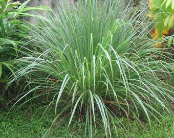Cymbopogon Citratus Fragrant Lemon Grass 25+, 50+, 100+, 500+ Seeds, Herb Edible Spice Perennial