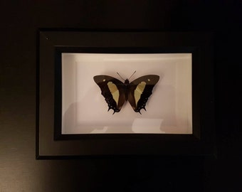 Green and Black Butterfly - unidentified - Small Black Frame