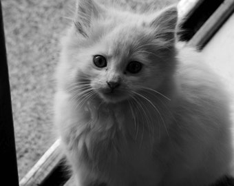 Kitten Photo (sepia, greyscale, colour)
