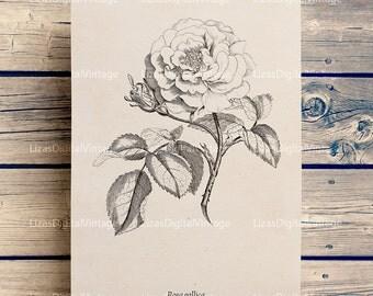 Rose print, Rose wall art, Rose vintage illustration, Printable images, Rose clip art, Antique print, Digital rose image, 8x10, 11x14 print