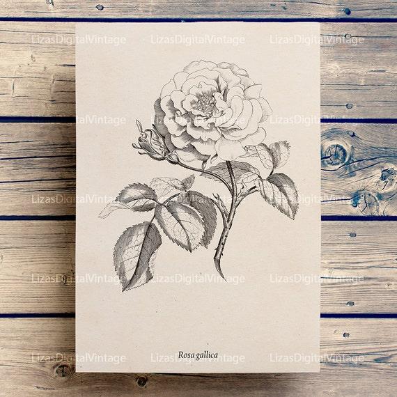 Rose vintage illustration, Printable images, Rose clip art, Antique print, Rose print, Digital rose image, Rose wall art, JPG PNG 300dpi