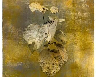 Pyrus | Japanese Pear Apple, botanical print