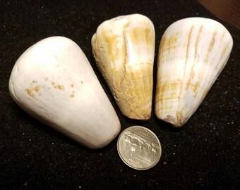 Huge Hawaiian cone shell lot