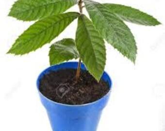 Loquat seedlings  4 plants