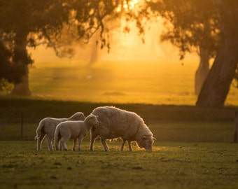 Gorgeous canvas of a sheep and her lambs