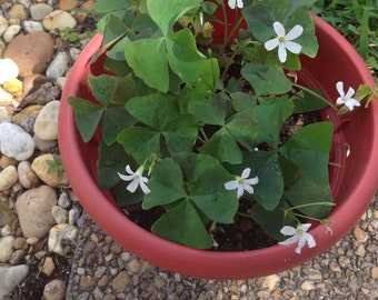 4 bulbs of Shamrock called Oxalis.  No soil or pot will be sent, just 4 bulbs.  Lucky Shamrock !!
