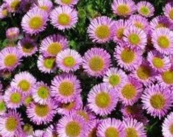 Pink Aster Flower Seeds/Alpinus/Perennial 40+