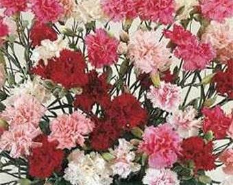 Dianthus Plumarius Sonata Flower Seeds/Cottage Pink/Perennial  50+